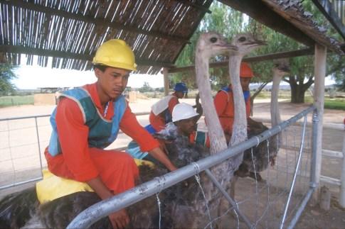 Sudáfrica, Karoo, Oudtshoorn, granja de Avestruz Highgate, carreras de Avestruz, animal
