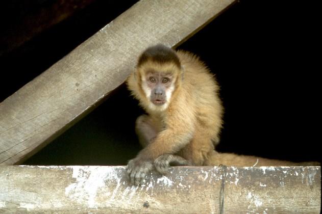 Bolivia, Beni, rio Mamore, , mono, animal
