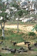 Bolivia, Chiquitina, Búfalos, animal