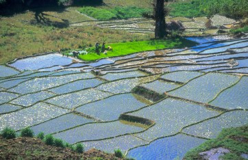Sri Lanka, Nergalla, campos de arroz