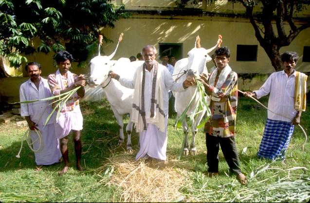 India, Mysore, Fiesta de Dussehra, Karnataka, Un hermosos búfalos para el desfile, animal