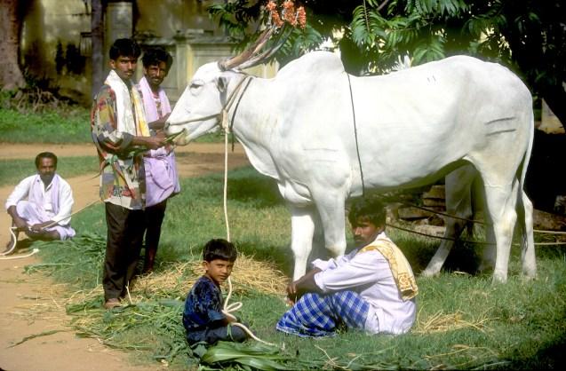 India, Mysore, Fiesta de Dussehra, Karnataka, Un hermoso búfalo para el desfile, animal, retrato