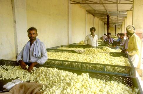 India, Mysore, Fiesta de Dussehra, Karnataka, Capullos de gusanos de seda, fabricación de seda