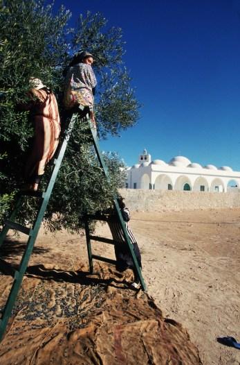 Túnez, Djerba, cosecha de olivas, Oliveras