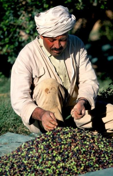Túnez, Gran Sur, Tataouine, cosechas de olivas