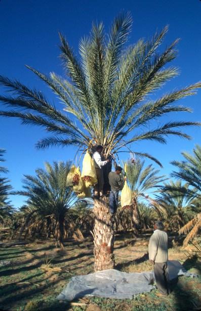 Túnez, oasis de dunas, Douz, cosecha de dátiles, trabajo
