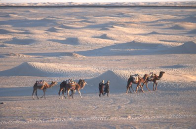Túnez, oasis de dunas, Douz, dromedarios, animal