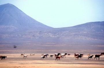 Cabo Verde, Isla de Sal, Pedra de lume, rebaño de cabras, animal