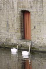 Flandes, Brujas, cisnes, animal
