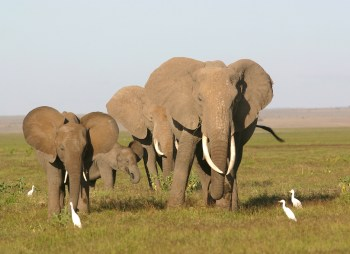 Kenya, Parque Nacional Amboseli elefantes, animal