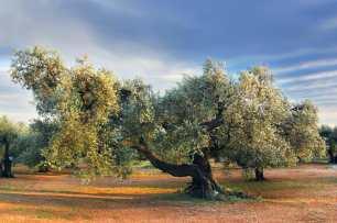 Catalunya, Montsiá, Mas de Barbarans, árbol