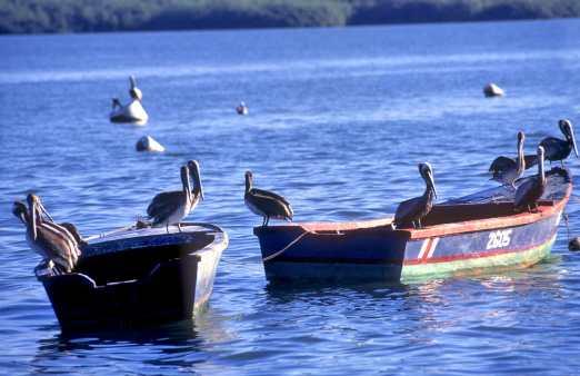 Costa Rica, Punta Arenas, pelicanos, animal