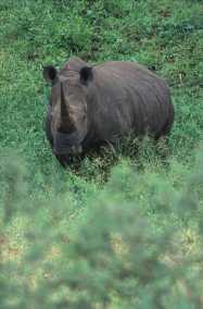 Sudáfrica, Parque Kruger rinoceronteSudafrica Parque Kruger rinoceronte, animal