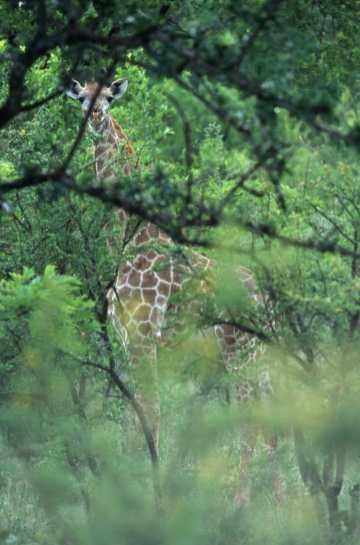 Sudáfrica. Parque Kruger, Bongani, jirafa, animal