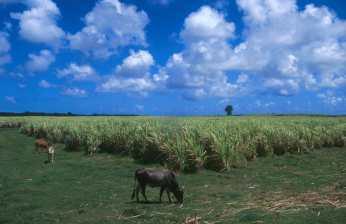Guadalupe, Grande Terre, Plataciones de Caña de Azúcar