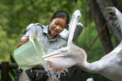 Singapur, Parque de Aves de Jurong, papagayo, animal, pelicano, retrato