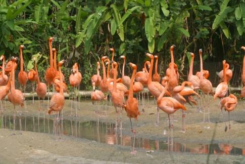 Singapur, Parque de Aves de Jurong, Flamencos, animal