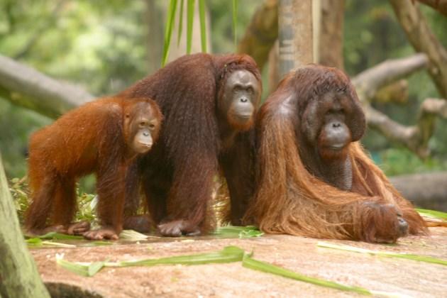 Singapur, Zoológico, Familia de Orangutanes, animal