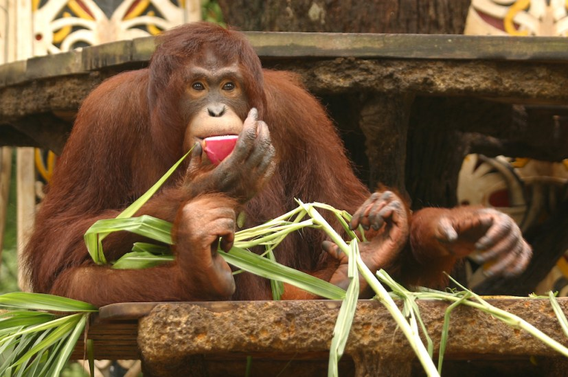 Singapur, Zoológico, Orangutan, animal