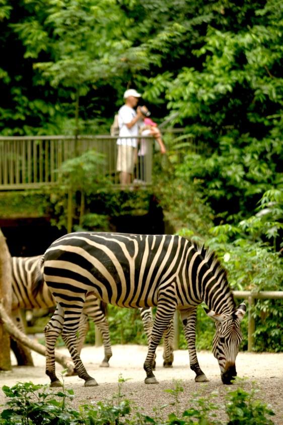 Singapur, Zoológico, cebras, animal