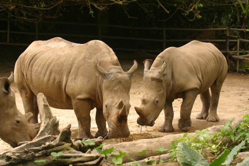 Singapur, Zoológico, rinocerontes
