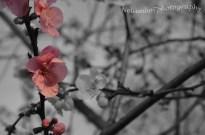 Pink blossom 5 masked