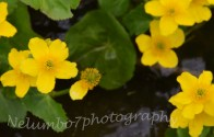 Yellow pond flowers