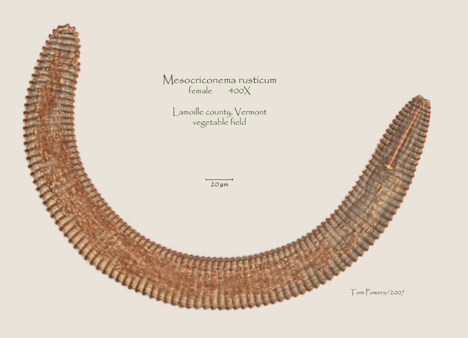 Macroposthonia Rustica Photo Gallery Vermont CAPS