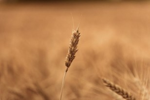 wheat-field-1205593_640