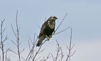 Rough-legged Hawk- Shiloh Rd, Centre Co