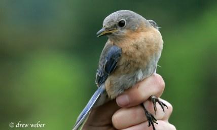 Eastern Bluebird- female