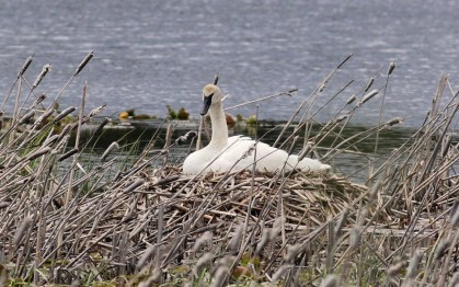Trumpeter Swan on nest - Swan Lake, ID
