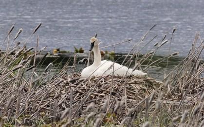 Trumpeter Swan on nest - Swan Lake, ID