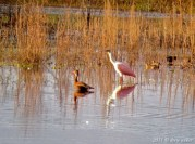 Roseate Spoonbill and Black-bellied Whistling-Duck - Kissimmee