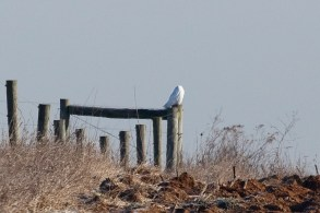 perched on fence (Gordon Dimmig)