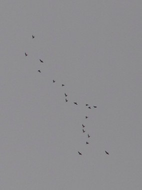 The first two photos are the same flock. It seems to be mixed. You really need to zoom in to see much.