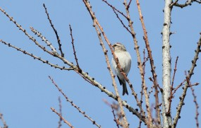 Hoary Redpoll on Kato-Orviston Rd, Centre County, PA (Photo by Alex Lamoreaux)