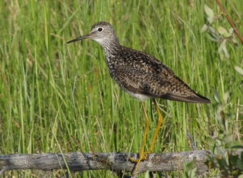 Lesser Yellowlegs - photo by Ted Keyel