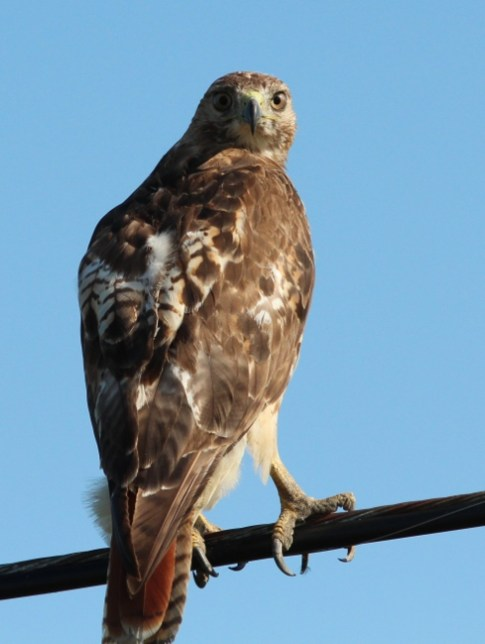 Red-tailed Hawk - photo by Ted Keyel