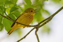 Yellow Warbler; the most common warbler on the boardwalk