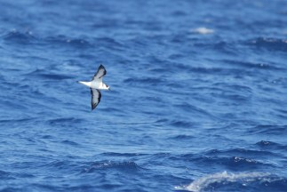 'White-faced' Black-capped Petrel (Photo by Alex Lamoreaux)