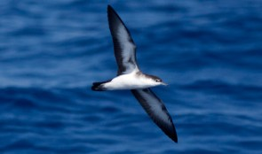 Audubon's Shearwater, ~28 miles ESE Hatteras, NC (Photo by Mike Lanzone)