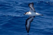 """Black-faced"" Black-capped Petrel (Photo by Mike Lanzone)"