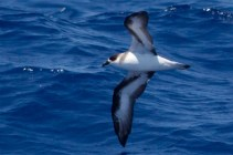 """""""Black-faced"""" Black-capped Petrel (Photo by Mike Lanzone)"""