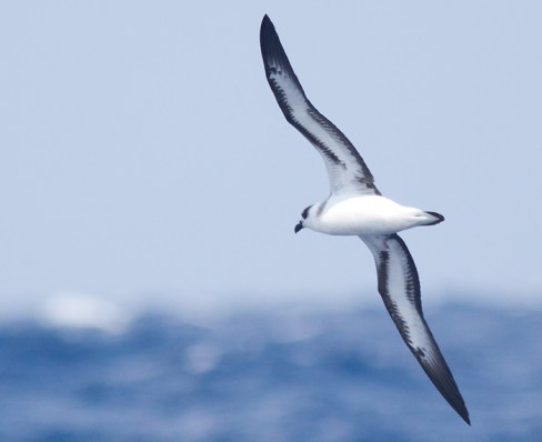 """""""Light-faced"""" Black-capped Petrel (Photo by Mike Lanzone)"""