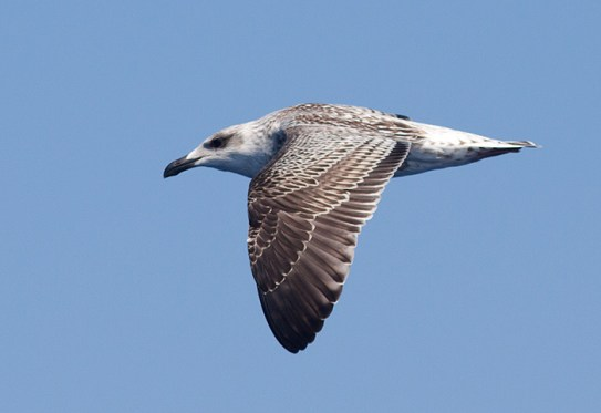 Great Black-backed Gull, ~25 miles ESE off Hatteras, NC (Photo by Mike Lanzone)