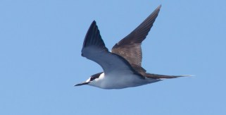 Sooty Tern, ~25 miles ESE off Hatteras, NC (Photo by Mike Lanzone)