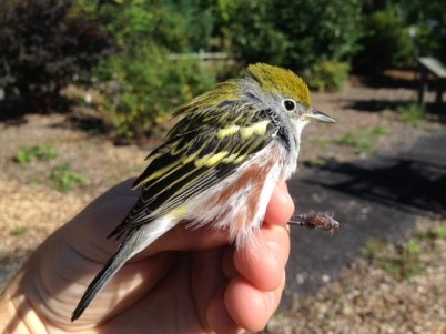 Chestnut-sided Warbler - adult male (Photo by Alex Lamoreaux)