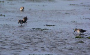 Some Dunlin living the dream at Napatree Point (photo by Steve Brenner)