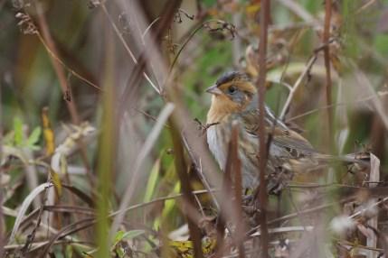 Nelson's Sparrow (Photo by Alex Lamoreaux)